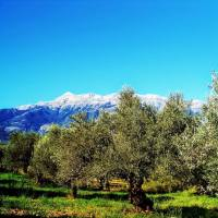 Sakellaropoulos Olive Oil, Olives: Awarded Organic Quality