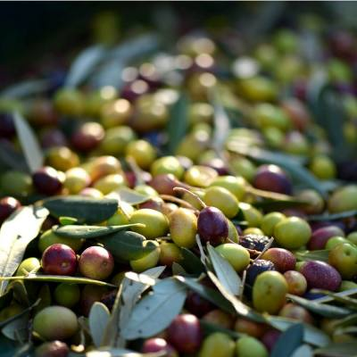 The olive oil from Laconia as a worldwide ambassador